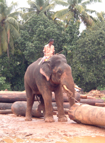 elephant working
