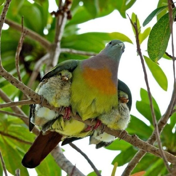 Bird sheltering young
