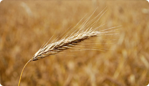 Head of wheat / Good or bad, you will always reap what you sow.