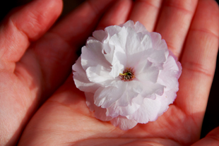 Hands holding white flower